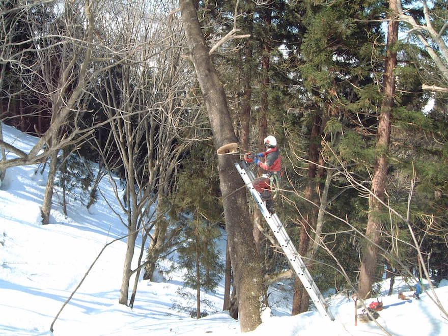 雪の中の伐採