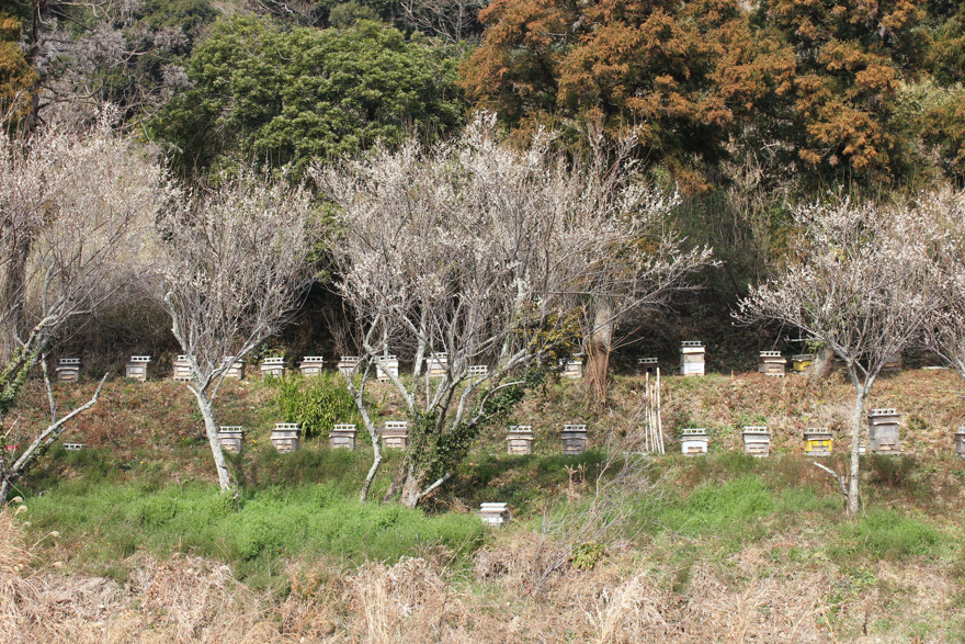 鴨川の里山に置かれた養蜂箱の数々