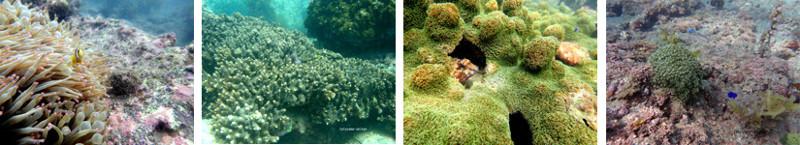 沖ノ島のサンゴ(南房総一帯には約30種類のサンゴが生息している)