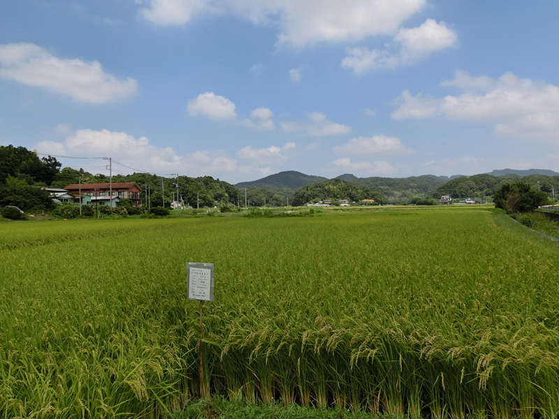 蛍が「舞う」にかけた三芳村蛍まい研究会の無農薬田んぼ 会の要請から農薬の空中散布も行われていない