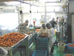 枇杷の1次加工工場