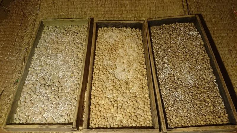 幅広い原料で醤油麹の仕込みを実験中。(左から醤油麹、米醤油麹、裸麦醤油麹)