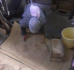 ムシロの上で炒った麦と蒸した大豆を混ぜ合わせる