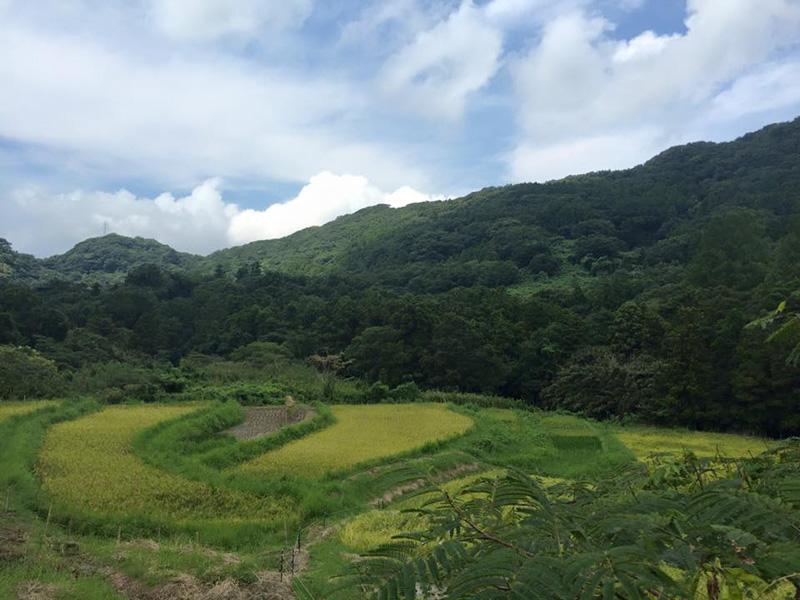 不耕起栽培で五十嵐さんが作る棚田収穫期の様子