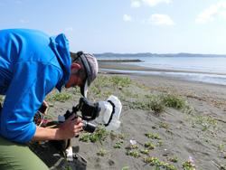 館山市那古海岸で海浜植物ハマヒルガオを撮影する本間さん
