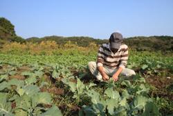 野菜についた虫は手作業でとっていく