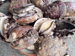 今年も5月から解禁されたアワビ漁