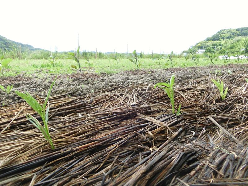 夏の日照りに備えて稲藁で土が覆われた空芯菜の圃場 土の中に多くの生物が暮らし、単一の虫が増殖することはほとんどないそうだ