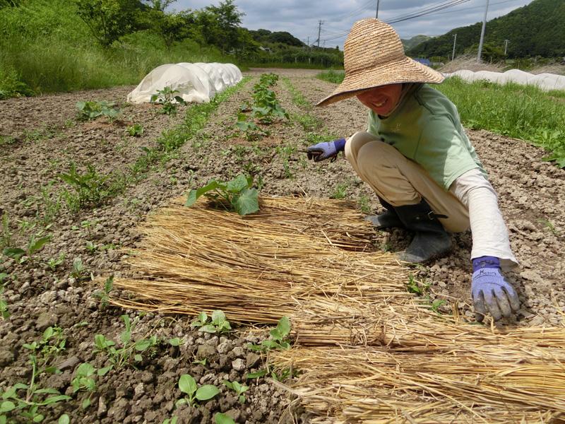圃場に出ることが何より癒されると語りながら昨年採れた稲藁をキュウリの苗に敷き詰めていく八木幸枝さん