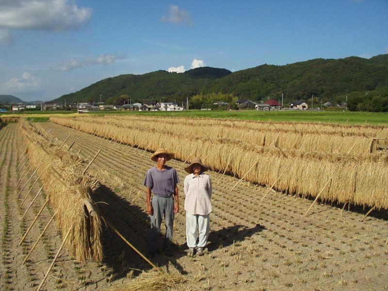 刈り取った稲は、掛け干しで乾燥、脱穀し籾の状態で常温貯蔵 毎月お米の発送日に合わせて籾すりをして消費者に届けている