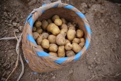 信州の伝統野菜「下栗いも」