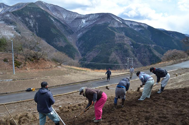 農業チームと下栗ボランティアによる下栗いもの種芋植え作業