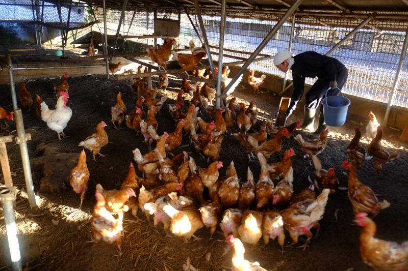 国産地鶏に給餌する/やますけ農園