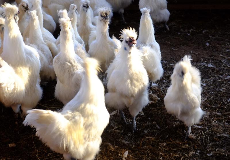 やますけ農園の純血種烏骨鶏