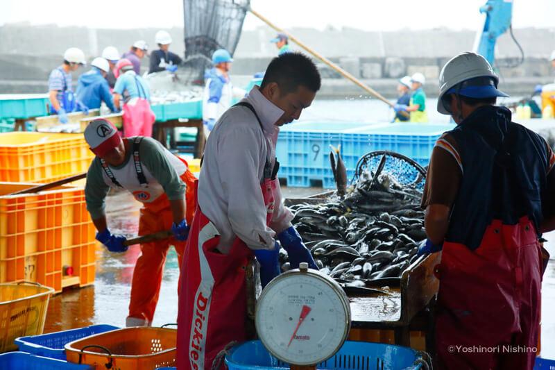 和田漁港で漁獲した魚を選別する(株)庄司政吉商店定置部の皆さん(手前:和田謙太郎さん) 写真提供:西野嘉憲
