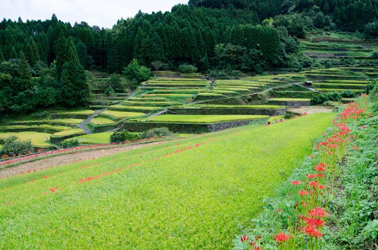 刈り取り前のつづら棚田。例年9月下旬に彼岸花の開花ピークを迎える。