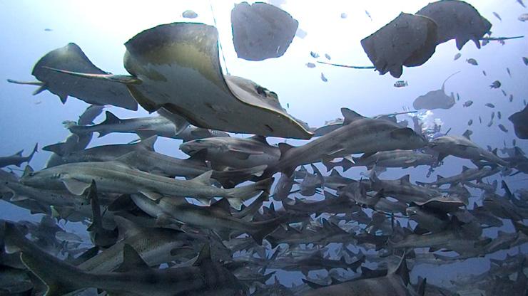 シャークスクランブルには、ドチザメの他、アカエイやクエなど様々な生き物が集まる