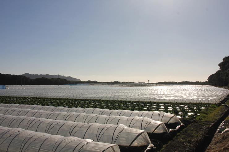 館山市神戸(かんべ)地区のレタス栽培地帯(トンネル内は全てレタス) 写真の奥には平砂浦海岸が広がっている