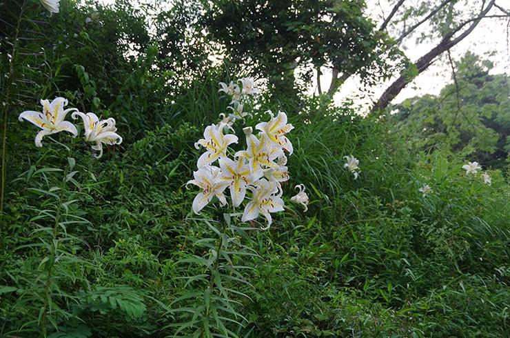 6月になると庭に咲き乱れるヤマユリ