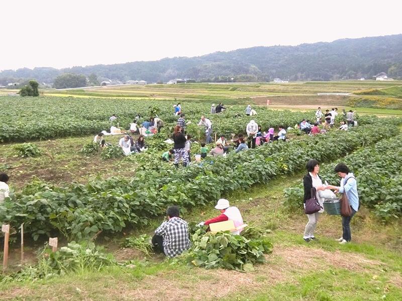 10月下旬から11月初旬の収穫期に自らの区画で収穫を楽しむオーナーの様子