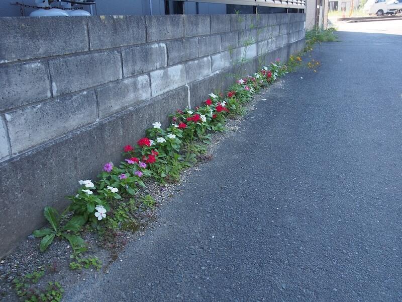 双葉食堂の道沿いには、色とりどりの日々草が植えられていた